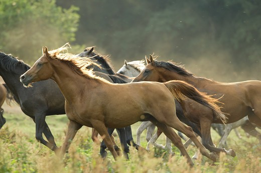 Arabian horses - herd on meadow : Stock Photo