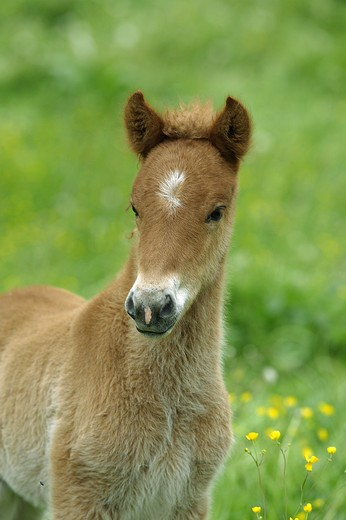Stock Photo: 4279R-54710 Icelandic horse - foal