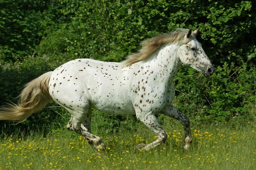 Knabstrupper - galloping on meadow : Stock Photo