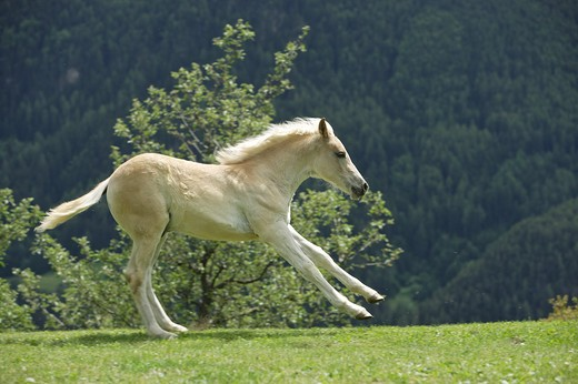 Stock Photo: 4279R-54891 haflinger foal - galloping on meadow