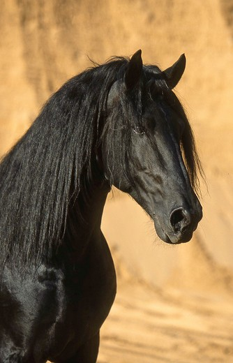 Friesian horse - portrait : Stock Photo