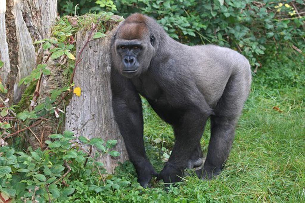 Western lowland gorilla - standing , Gorilla gorilla gorilla : Stock Photo