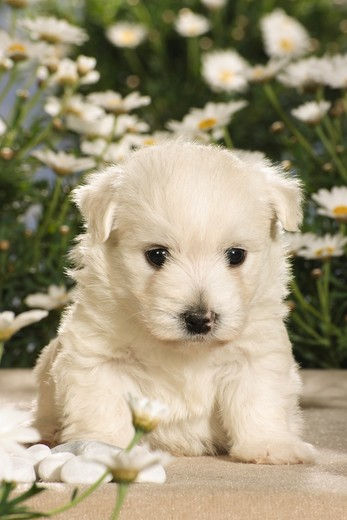 Stock Photo: 4279R-55046 Westhighland White Terrier - puppy in front of flowers