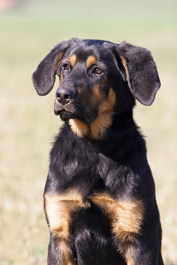 Stock Photo: 4279R-55121 half breed dog - portrait