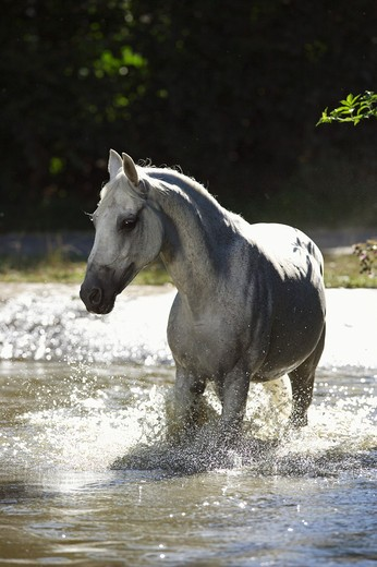 Lipizzan horse - trotting in water : Stock Photo