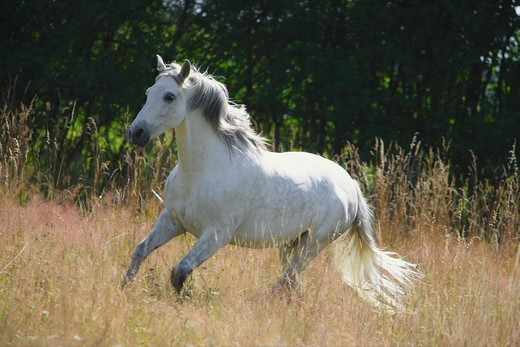 Stock Photo: 4279R-55583 Pura Raza Española - galloping on meadow