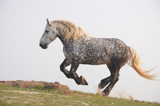 Stock Photo: 4279R-55623 percheron - galloping on meadow