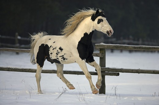 pinto - galloping on snow : Stock Photo