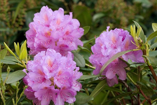 Stock Photo: 4279R-55796 Rhododendron