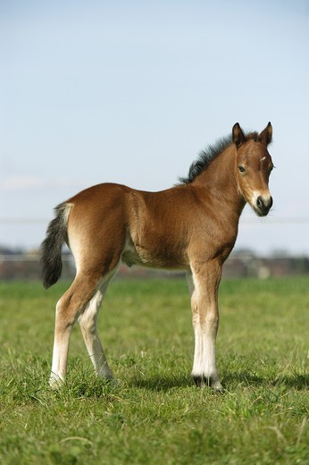 welsh pony foal - standing on meadow : Stock Photo