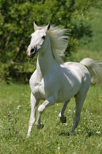 Shagya Arabian horse - trotting on meadow : Stock Photo