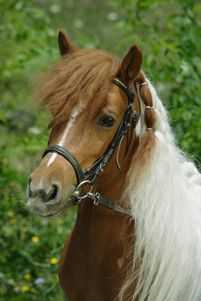 Stock Photo: 4279R-55881 shetland pony - portrait