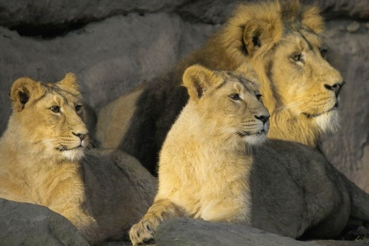 lion with two lionesses : Stock Photo