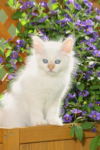 Sacred cat of Burma - kitten sitting in front of flowers : Stock Photo