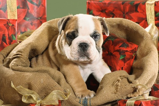 Christmas, English Bulldog in sack : Stock Photo