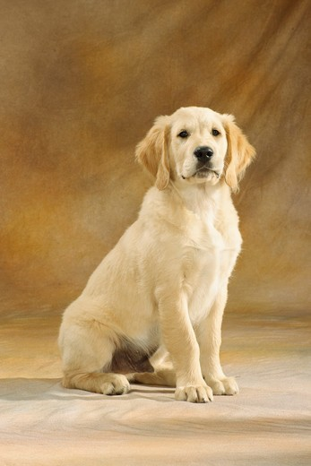young Golden Retriever - sitting : Stock Photo