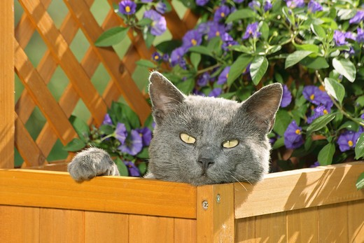 Stock Photo: 4279R-56231 Carthusian cat in flower box