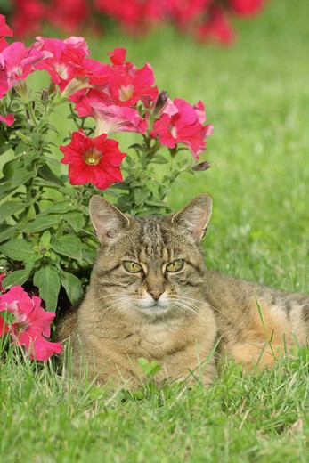 Stock Photo: 4279R-56238 domestic cat - lying on meadow in front of flowers
