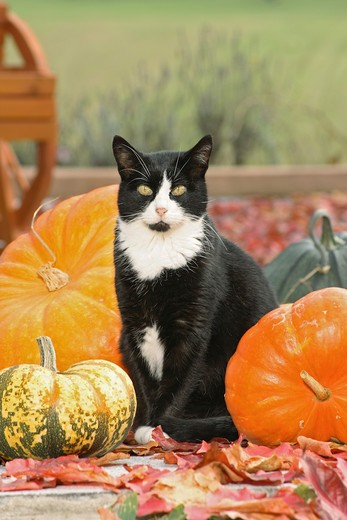 Stock Photo: 4279R-56250 domestic cat - sitting between pumpkins