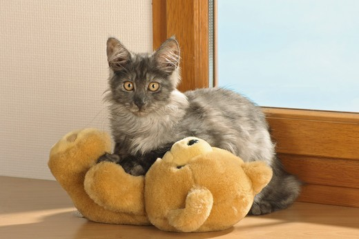 Stock Photo: 4279R-56312 Maine Coon - standing with teddybear