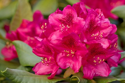 Rhododendron (hybrid) - blossom : Stock Photo