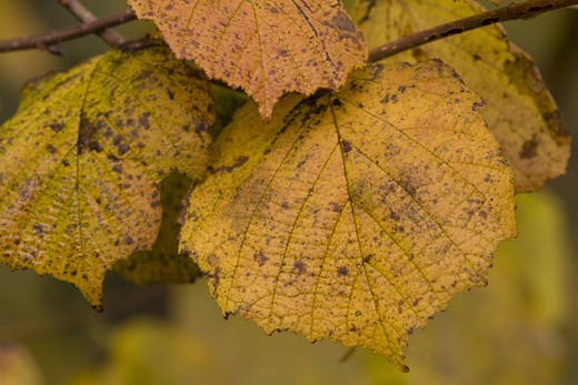 Stock Photo: 4279R-56539 common hazel - leaves , Corylus avellana