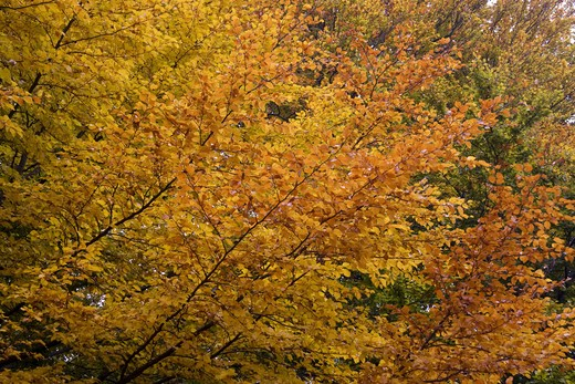 common beech - autumn , Fagus sylvatica : Stock Photo