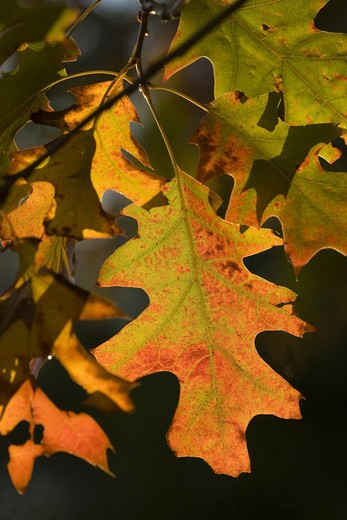 Northern Red Oak - leaves , Quercus rubra : Stock Photo