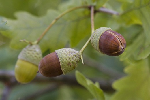 Stock Photo: 4279R-56575 pedunculate oak - acorns , Quercus robur