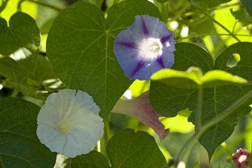 Stock Photo: 4279R-56693 purple morning glory - blossoms , Ipomoea purpurea