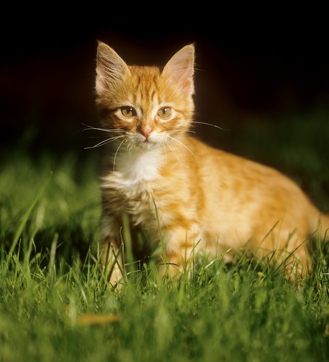 Stock Photo: 4279R-56823 domestic cat - kitten standing on meadow