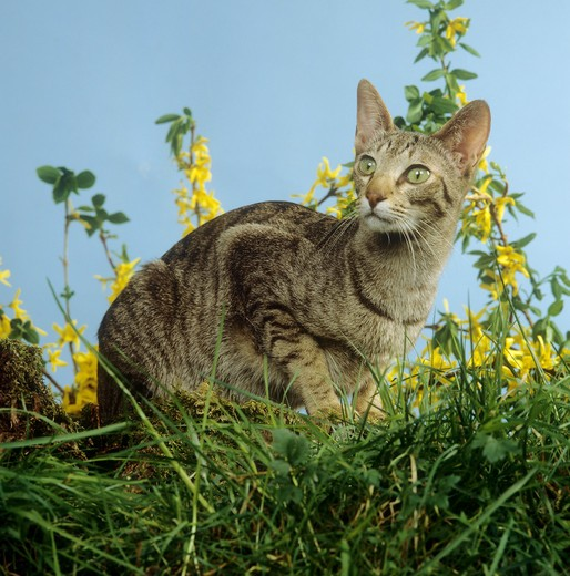 Stock Photo: 4279R-56864 Oriental Shorthair - sitting in meadow