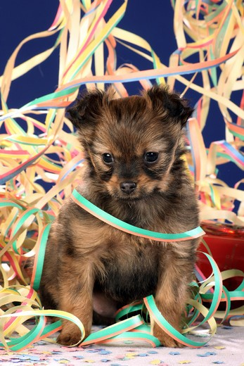 Russian Toy Terrier - puppy  between paper streamers : Stock Photo