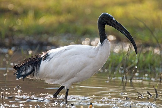 Stock Photo: 4279R-57184 Sacred Ibis - walking in water , Threskiornis aethiopicus