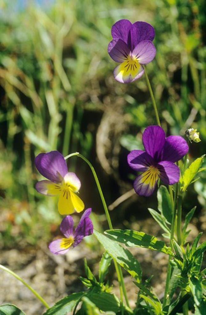Stock Photo: 4279R-57194 Heartsease , Viola tricolor