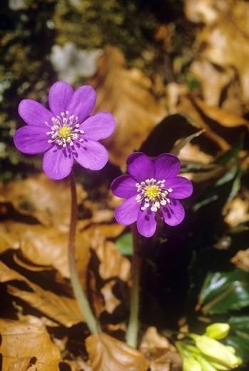 Stock Photo: 4279R-57220 liverwort - blossoms , Hepatica nobilis