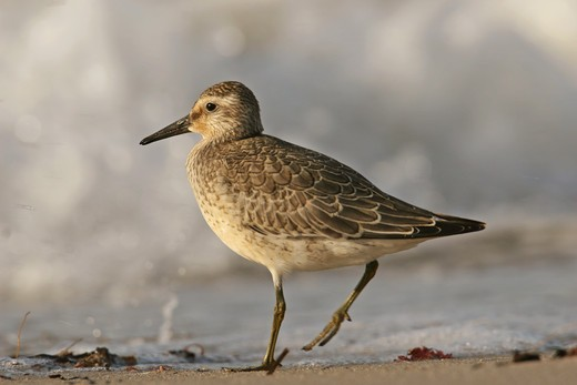 Stock Photo: 4279R-57250 Red Knot - standing , Calidris canutus