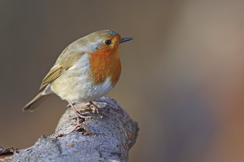 Stock Photo: 4279R-57953 European Robin - standing on branch , Erithacus rubecula