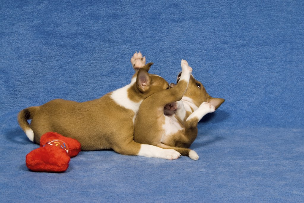 Stock Photo: 4279R-58054 two basenji puppies - playing