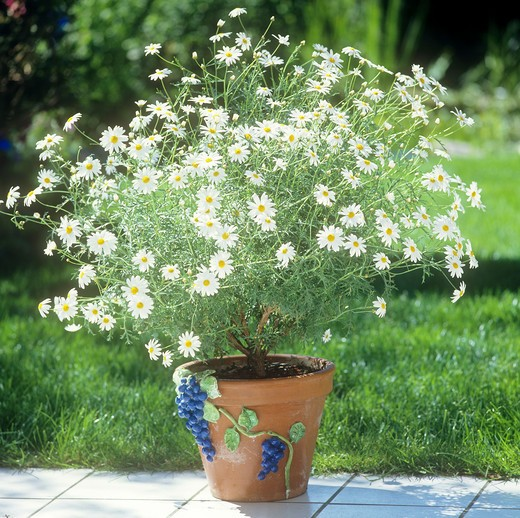 marguerite in flowerpot , Argyranthemum frutescens : Stock Photo