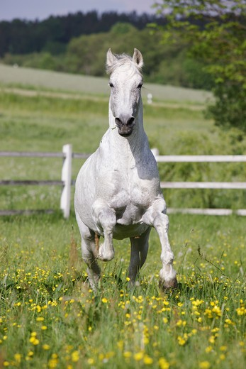 Stock Photo: 4279R-58683 andalusian horse - galloping on meadow