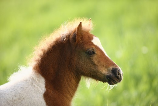 Stock Photo: 4279R-58758 Shetlandpony foal - portrait