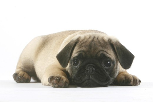 Stock Photo: 4279R-58845 pug - puppy - cut out