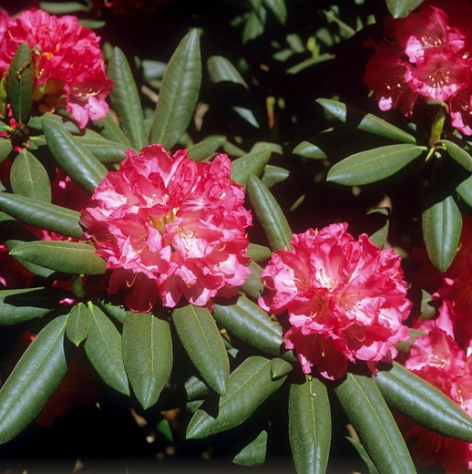 Stock Photo: 4279R-59164 rhododendron - blossoms