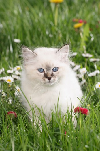 Stock Photo: 4279R-59259 sacred cat of burma kitten - sitting on meadow