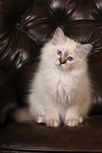 Stock Photo: 4279R-59266 sacred cat of burma kitten - sitting on couch