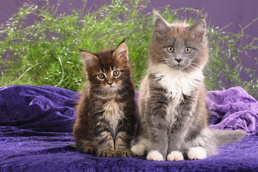 two maine coon kitten - sitting : Stock Photo