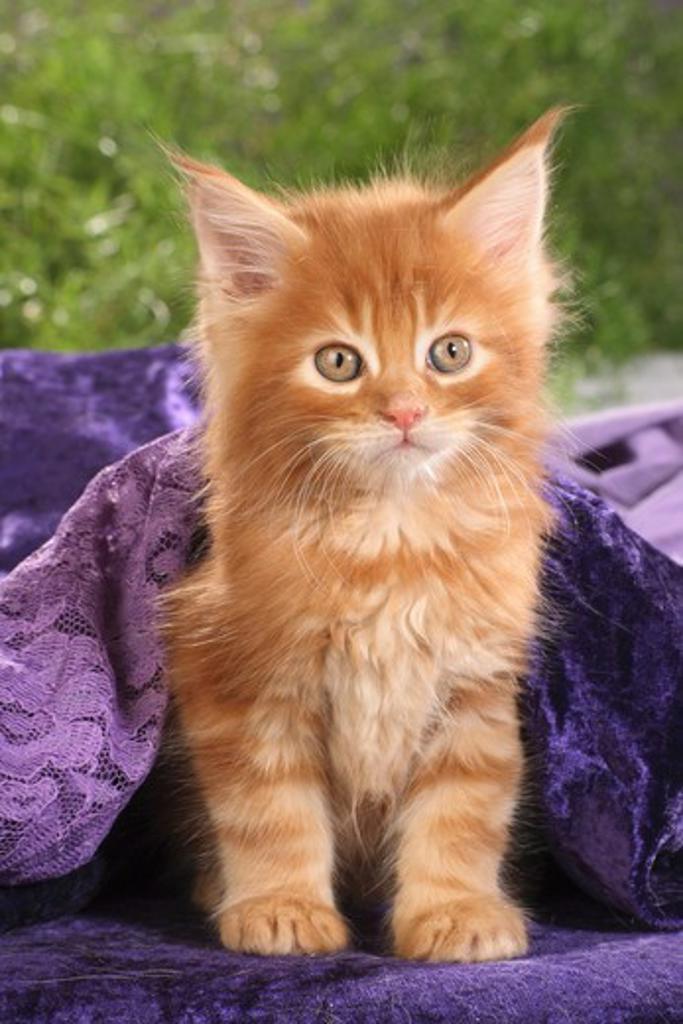 maine coon kitten - sitting : Stock Photo