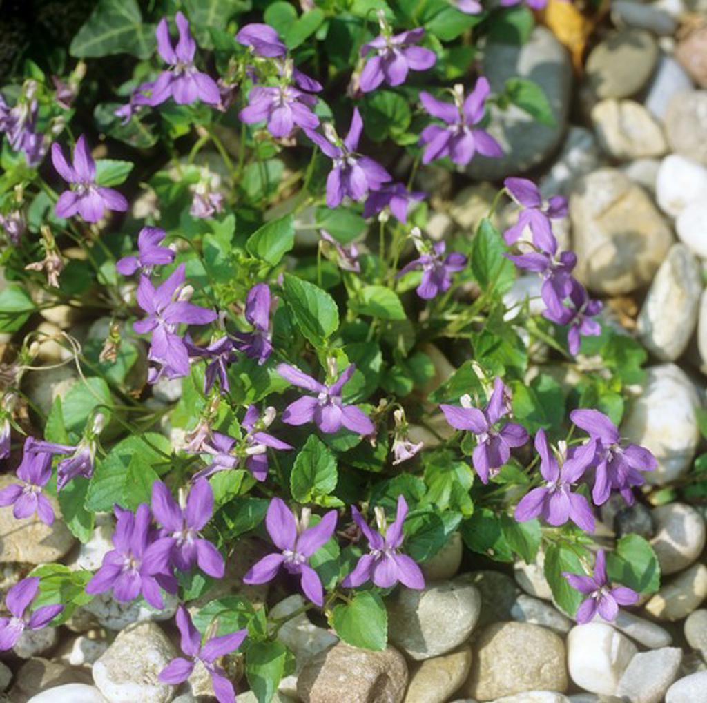 Stock Photo: 4279R-59394 common violet , Viola odorata