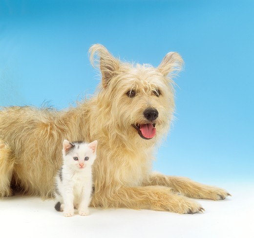 Stock Photo: 4279R-59435 animal friendship, hybrid dog and domestic kitten